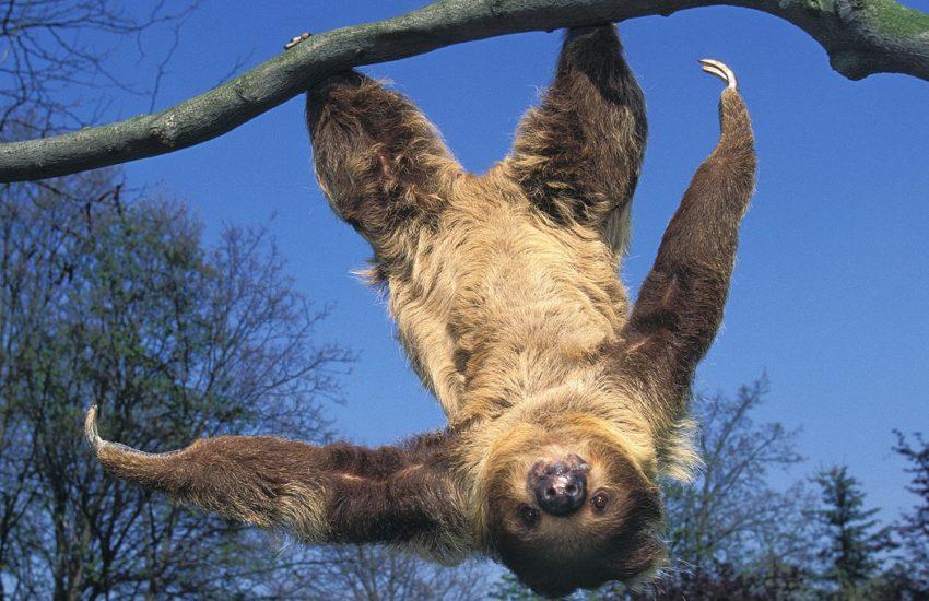 枝にぶら下がるフタユビナマケモノの仲間 ©️Stadio Caesar /amanaimages